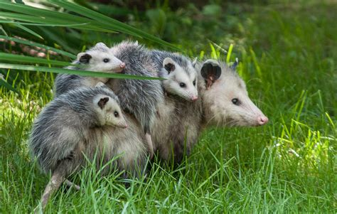 Possum Backyard by Who Look Like Animals Tigerdroppings