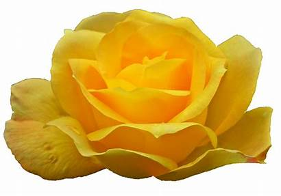 Yellow Rose Transparent Resolution Onlygfx Format 1730