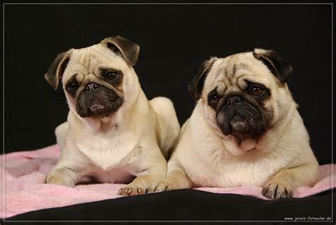 moepse foto bild tiere haustiere hunde bilder auf