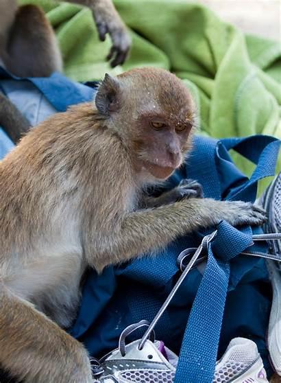 Thailand Monkey Bag Macaque Monkeys Beach Nang