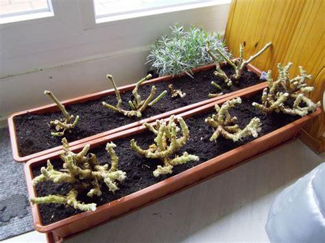 Geranien überwintern Im Blumenkasten by Pelargonium Pelargonien Alle Nichtsukkulenten Arten