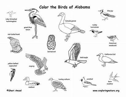 Birds Coloring Alabama State Bird Mammals Reptiles