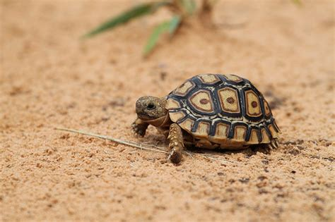 square leopart baby leopard tortoise flickr photo