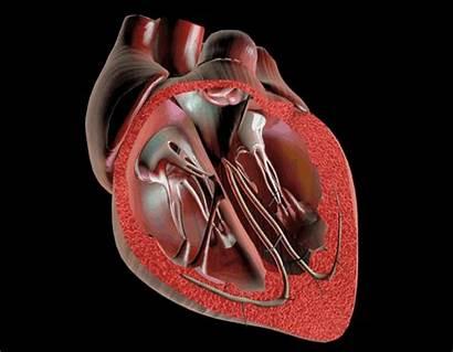 Heart Beating Gifs Heart1 Ductus Circulation Fetal