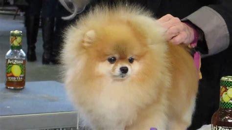 pomeranian  poofed  westminster dog show youtube