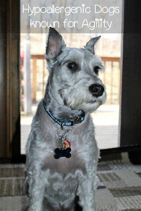 hypoallergenic dog breeds  agility dogvills