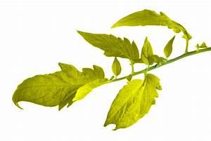 Stickstoffmangel Bei Pflanzen : tomaten haben gelbe bl tter woran liegt 39 s ~ Lizthompson.info Haus und Dekorationen