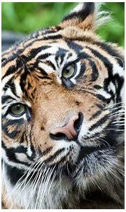 Cute tiger wallpaper | Tiger images, Pet tiger, Tiger face