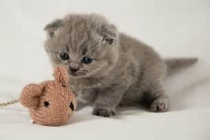 munchkin cat scottish fold scottish fold munchkin kittens for kitties
