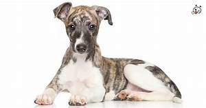 Whippet Puppies for Sale - Puppies 4 All