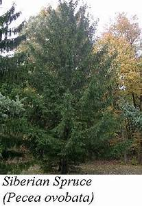 Life In The Taiga : boreal forest plants adaptations ~ Frokenaadalensverden.com Haus und Dekorationen