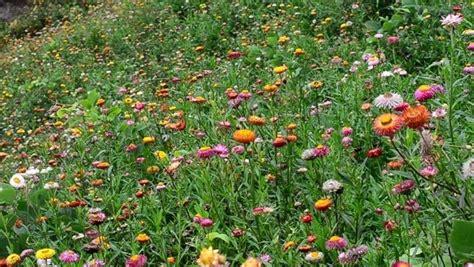 elicriso coltivazione in vaso elicriso piante da giardino coltivare elicriso