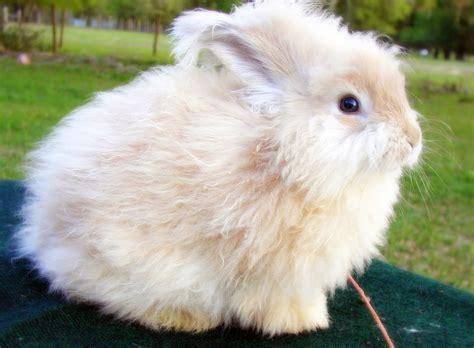 angora rabbit pets angora rabbit