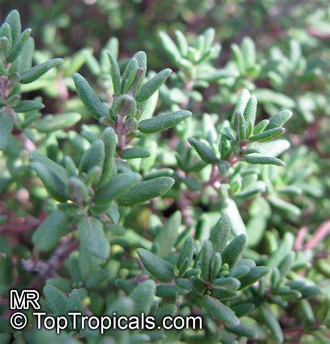 cuisines hardy thymus vulgaris garden thyme toptropicals com
