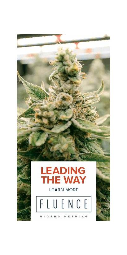 Marijuana Hardens Osteoporosis Cannabis Grow Own Market