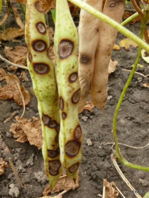 anthracnose dry bean pod symptoms field crop news