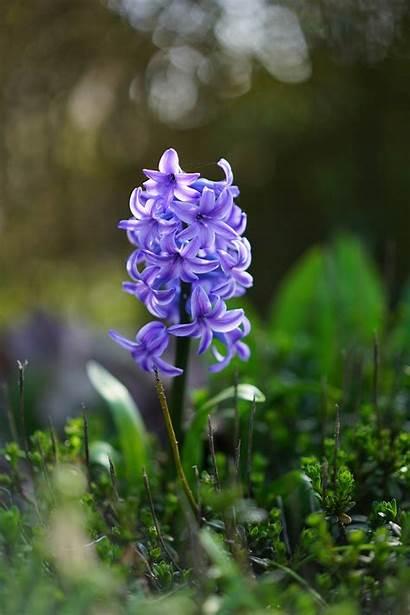 Hyacinthus Hyacinth Flower Species Flowers Plants Plant