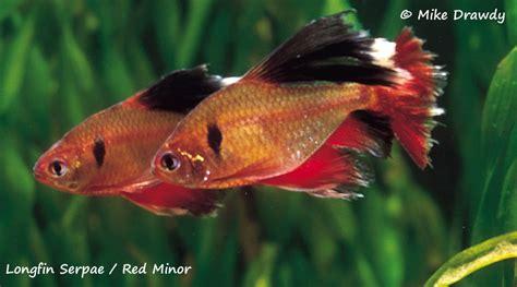 serpae tetra long fin red minor serpae tetras live tropical community aquarium fish ebay