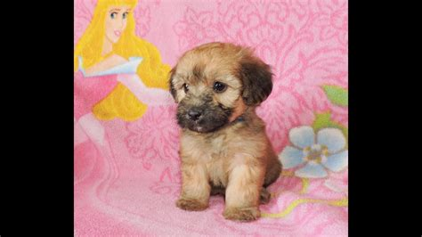 mini whoodle puppy tinkerbell  celebritypupscom