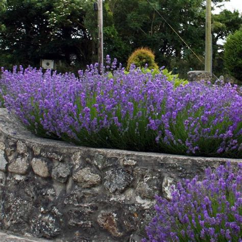 lavender hedge images image gallery lavender hedge
