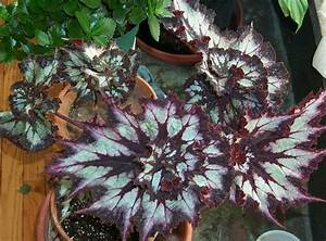 Rex begonia   UST Greenhouse project