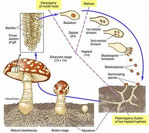 Mushroom Life Cycle 2