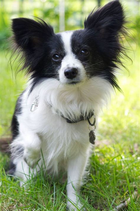 long haired chihuahua  papillon cross  stud