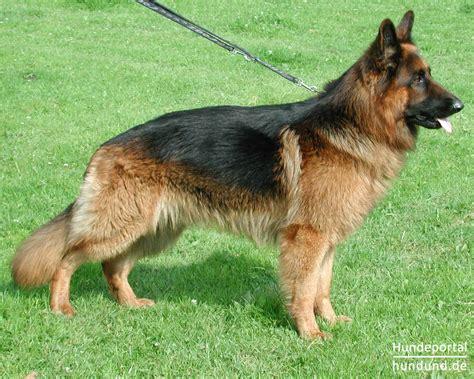 Deutscher Schäferhund Brauner Langhaariger Schlag Foto