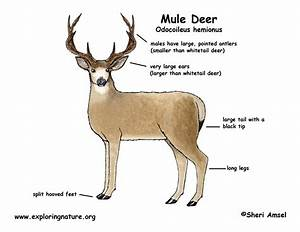 Tailed Deer Diagram