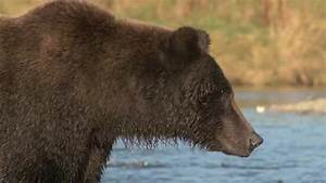 Grizzly Bear Side Profile Stock Footage Video 2029039 ...