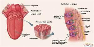 Image Gallery tongue diagram