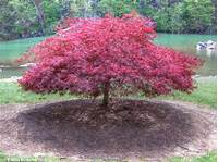 lace leaf maple black japanese maple   Red Laceleaf Japanese Maple by ...