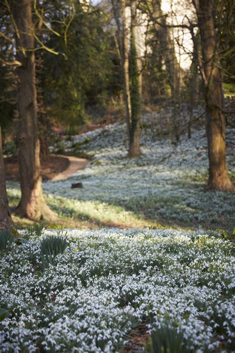 snowdrop gardens garden visit snowdrop season at painswick rococo garden gardenista
