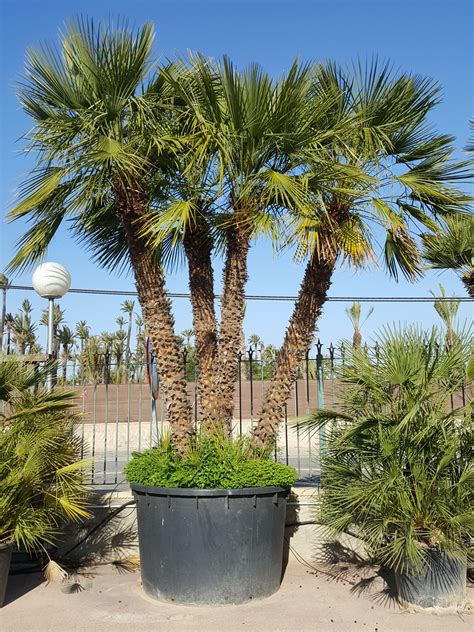 mediterranean trees pictures chamaerops humilis palm trees mediterranean fan palm from palm farm