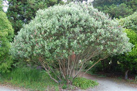 white nursery feijoa sellowiana faroutflora flickr