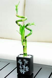 Bambou A Planter : bambou en pot et lucky bambou entretien et symbolique ~ Premium-room.com Idées de Décoration