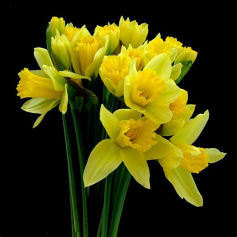 2017 wholesale narcissus daffodil bulbs potted plants