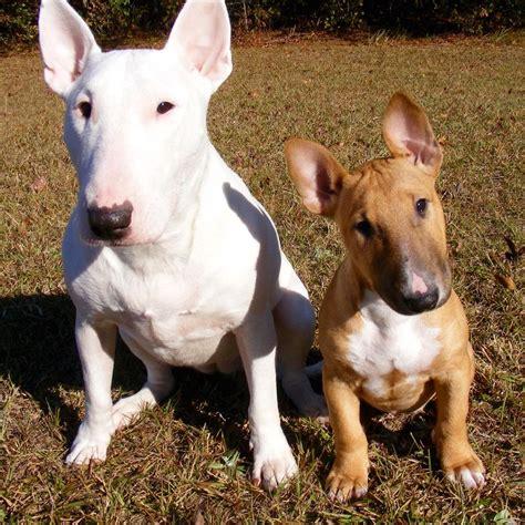 Bull Terrier Images Bull Terrier Wallpapers Animal Hq Bull Terrier Pictures