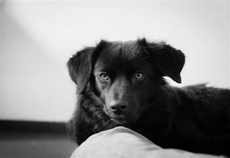 Free Images Black White Puppy Animal Pet Fur