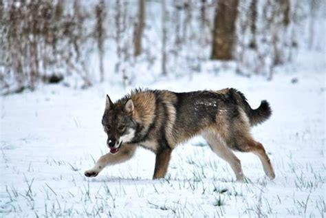 west siberian laika breed guide learn   west