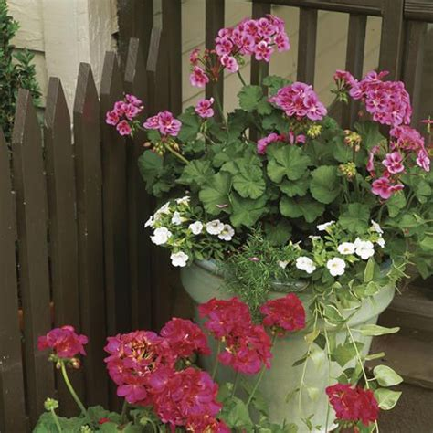 planting geraniums in pots plant geraniums in containers