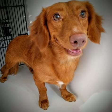 dachshunds    home images  pinterest