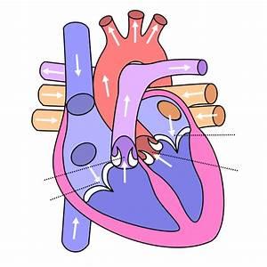 u414adad: heart diagram without labels