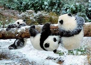 Panda cubs at play. | :: That's Cute! :: | Pinterest