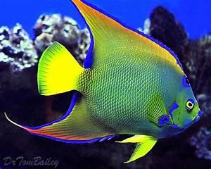 queen angel fish   Here's a magnificent Queen Angelfish ...