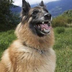 Laisser Un Chien Seul Quand On Travaille : apr s la museli re pour chiens dangereux voici l applique dentaire soci t wamiz ~ Medecine-chirurgie-esthetiques.com Avis de Voitures