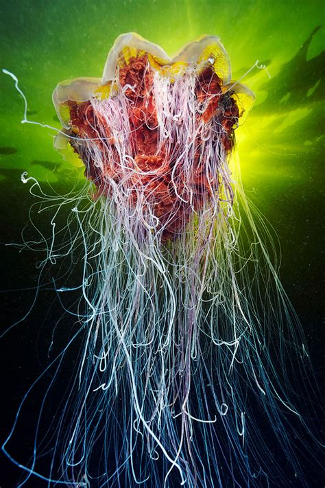 underwater jellyfish photography mesmerizing jellyfish photography by semenov Underwater Jellyfish Photography