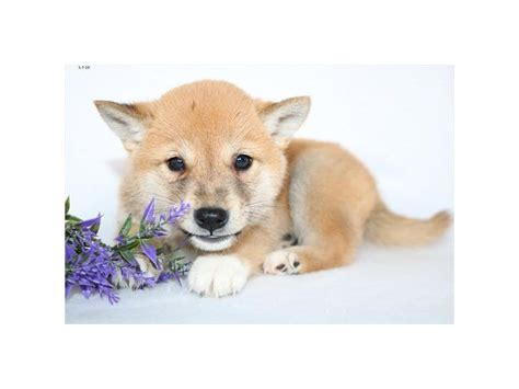 See more of mika the mighty red shiba inu on facebook. Shiba Inu-DOG-Male-Red-2357266-Petland Racine, WI