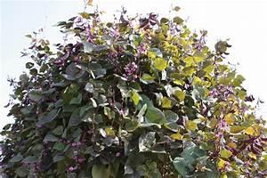 Lablab (Lablab purpureus) | Feedipedia