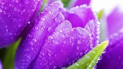 Screensavers Wallpapers Desktop Flower Tulip Resolution